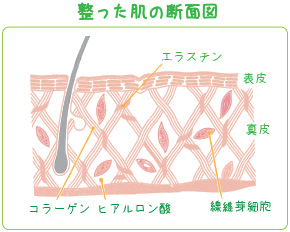 コラーゲンと肌